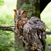 A portrait of Wizard and Oz, Screech Owls meditating like the Buddha at the Blue Ridge Wildlife Institute at Lees-McRae College in Banner Elk, NC