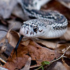 A portrait of a Northern Pine Snake at the Blue Ridge Wildlife Institute at Lees-McRae College in Banner Elk, NC