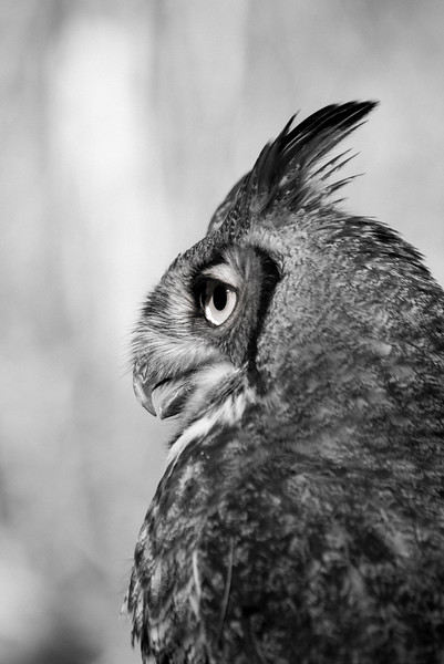 R2 - Great Horned Owl No. 6