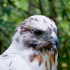 A portrait of Cloud Feather, an Albino Red-Tailed Hawk at the Blue Ridge Wildlife Institute at Lees-McRae College in Banner Elk, NC