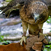 A portrait of Ladybird, a Red-Tailed Hawk at the Blue Ridge Wildlife Institute at Lees-McRae College in Banner Elk, NC