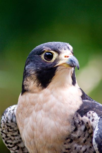A portrait of Zeus, a Peregrine Falcon at the Blue Ridge Wildlife Institute at Lees-McRae College in Banner Elk, NC