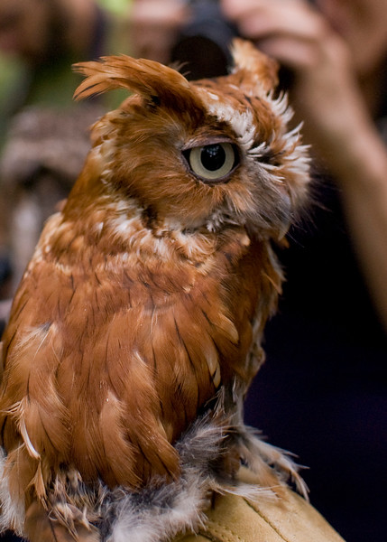 A portrait of Wizard, a Screech Owl at the Blue Ridge Wildlife Institute at Lees-McRae College in Banner Elk, NC