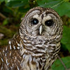 A portrait of Barry, a Barred Owl (strix varia) at the Blue Ridge Wildlife Institute at Lees-McRae College in Banner Elk, NC. Barry is an imprinted Barred Owl that was raised by a family in North Carolina. They fed him an improper diet, and he acquired a nutritional deficiency that resulted in a bone disease. As a result of this illness, his bones became so fragile that his left wing broke and required amputation. He also has a cataract in his right eye.