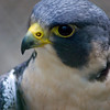 A portrait of a peregrin falcon at the Carolina Raptor Center in Charlotte, NC
