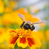 A portrait of an Eastern Carpenter Bee on marigold flowers