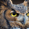 R2 - Great Horned Owl No. 4