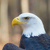 Lady CLT - Bald Eagle #1