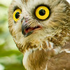A portrait of Hamlet, a Saw-Whet Owl, at the Blue Ridge Wildlife Institute at Lees-McRae College in Banner Elk, NC