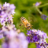 A portrait of a honeybee hovering near lavender flowers