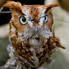 A portrait of Wizard, a red-phase Screech Owl at the Blue Ridge Wildlife Institute at Lees-McRae College in Banner Elk, NC