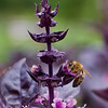A portrait of a Honeybee on purple basil flowers