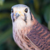 Princess Leia - American Kestrel No. 4