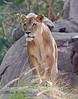 Female Lion at Disney's Animal Kingdom.