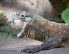 Komodo dragon at Disney's Animal Kingdom