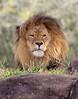 Male Lion at Disney's Animal Kingdom. Briefly awake!