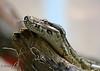 Boa Constrictor @ Beardsley Zoo