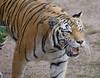 Female tiger lets out a short, deep roar.