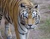 Female Asian Tiger: Animal Kingdom at Disney