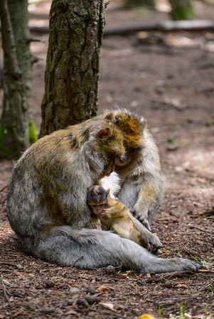 Montagne des singes - Kintzheim FRANCE