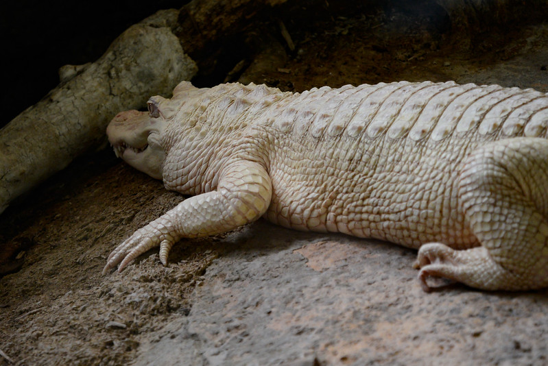Alligator d'Amérique Albinos - La Ferme aux Crocodiles