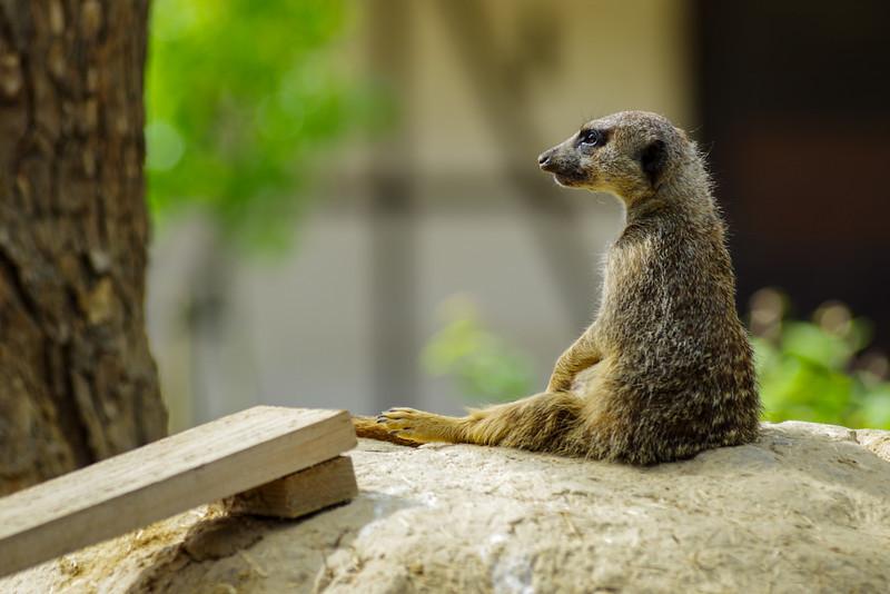 Les marrants petits suricates - Mundenhof (Allemagne)