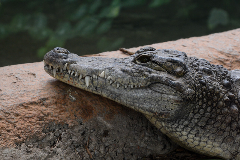 Crocodile d'Afrique - La Ferme aux Crocodiles