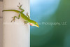41  Molting Anole