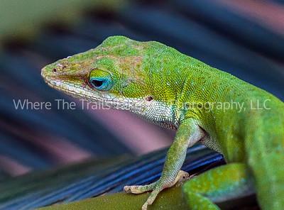 Anole Lizards