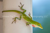 42  Molting Anole - Close up
