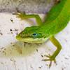 53  Bright Green Anole