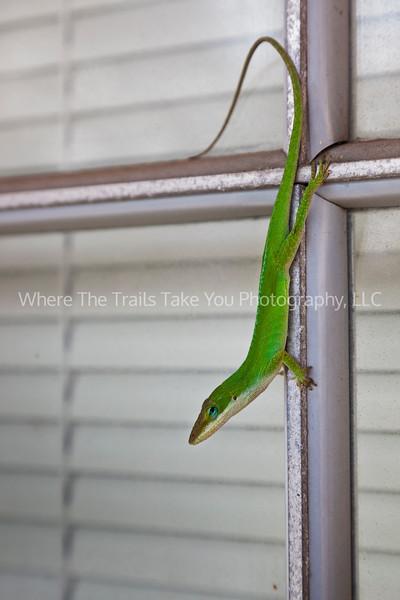 16  Little Green Lizard - Original