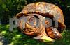 P1000935 Smiling Turtle 1