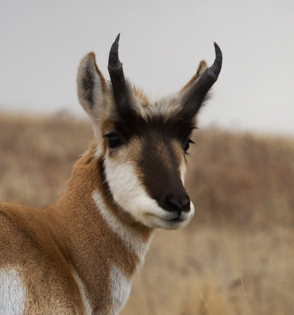 Antelope, elk and the tour road