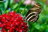 Zebra Heliconian Butterfly, Madison, Wisconsin