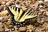 Eastern Tiger Swallowtail Butterfly, Newton County, Arkansas