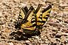 Eastern Tiger Swallowtail Butterflies, Newton County, Arkansas