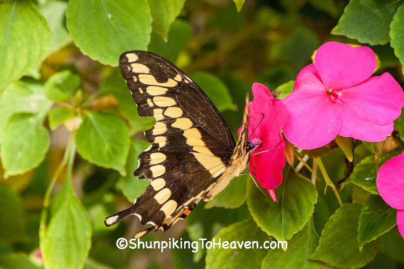 Giant Swallowtail Butterfly, Dane County, Wisconsin