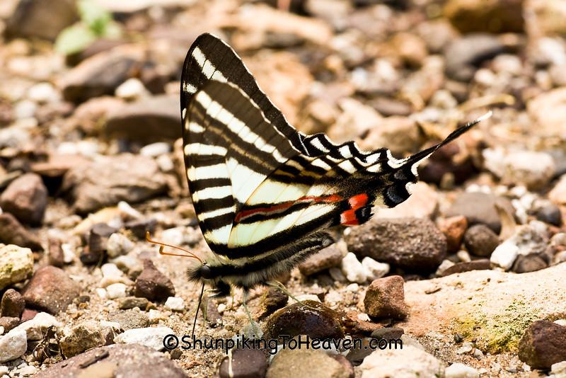 Zebra Swallowtail Butterfly, Newton County, Arkansas