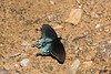Pipevine Swallowtail Butterfly, Johnson County, Arkansas