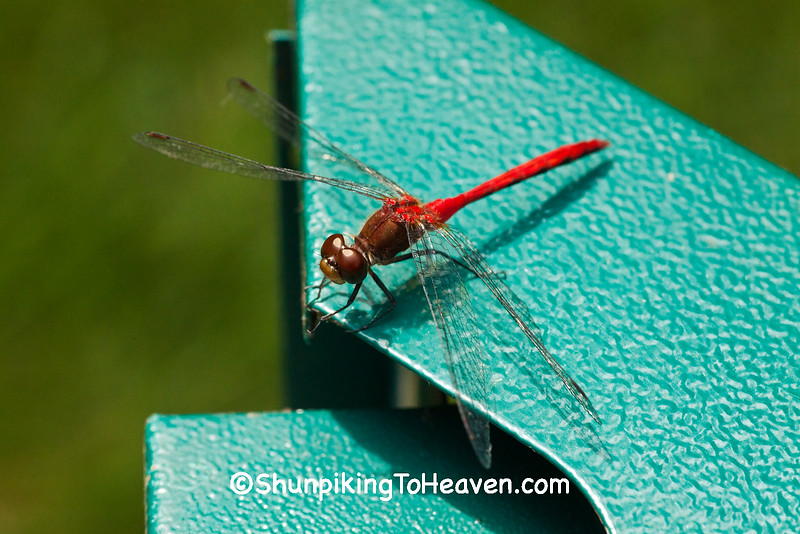 Meadowhawk Dragonfly, Dane County, Wisconsin