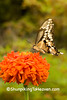 Giant Swallowtail Butterfly on Zinnia, Vernon County, Wisconsin