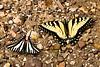 Zebra Swallowtail and Eastern Tiger Swallowtail Butterflies, Newton County, Arkansas