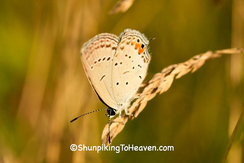Eastern Tailed-Blue Butterfly, Dane County, Wisconsin