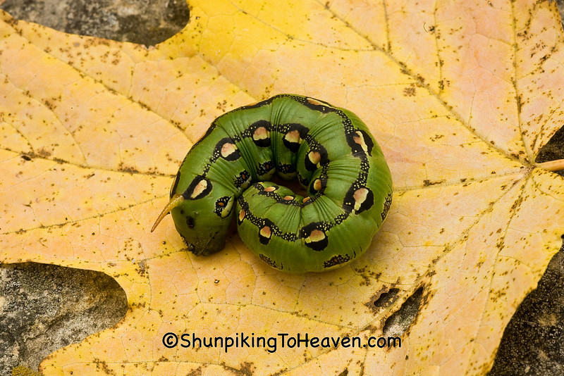 White-lined Sphinx Caterpillar, Vernon County, Wisconsin