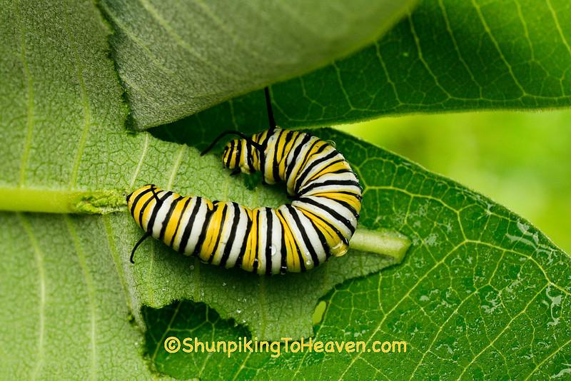 Monarch Caterpillar, Iowa County, Wisconsin