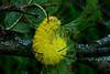 American Dagger Moth Caterpillar, Dane County, Wisconsin