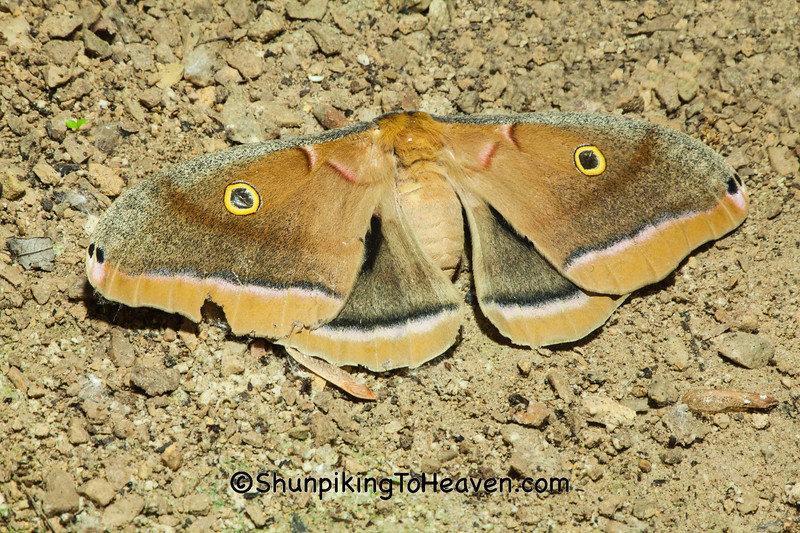 Polyphemus Moth, Dane County, Wisconsin