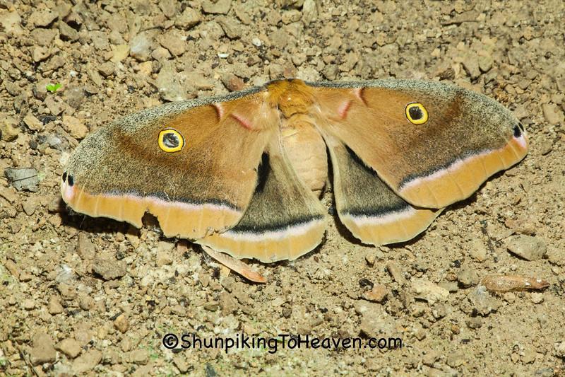 Polyphemus Moth, Dane County, Wisconsin