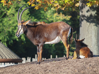 Antilopes in Copenhagen Zoo.. Photo: Martin Bager.